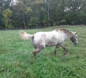 Picture of a gray horse walking in a field with fall trees in the background