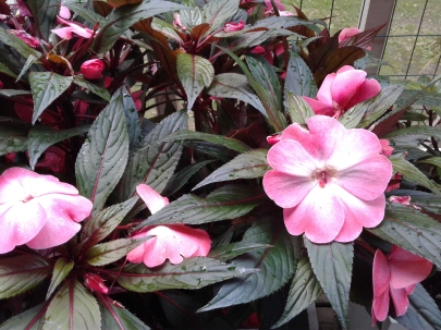 beautiful new guinea impatiens plant with pink flowers