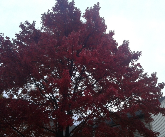 Red fall maple tree