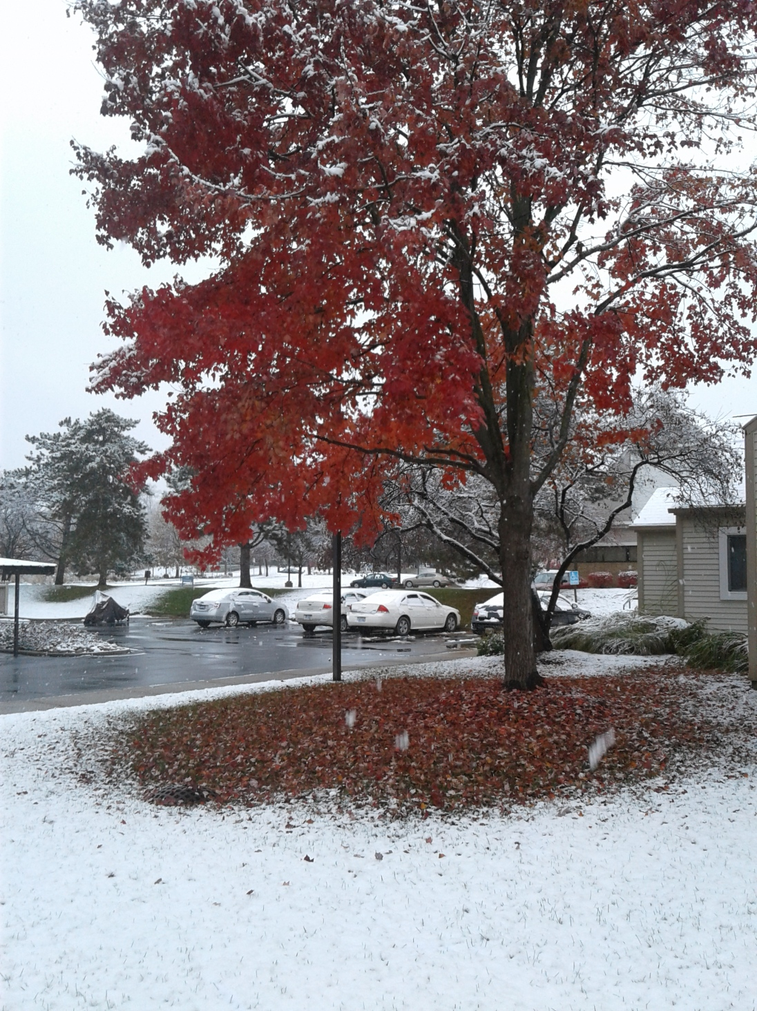 Maple tree with red leaves and snow on the ground