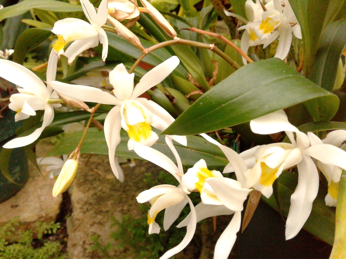 Gorgeous white orchids with yellow throats